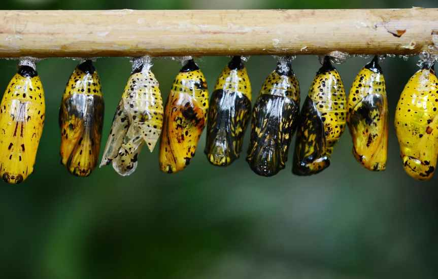 yellow and black butterflies cocoon
